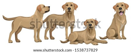 Gold yellow labrador retriever. Standing and sitting labradors isolated on white. The dog is lying. Young and friendly dogs.