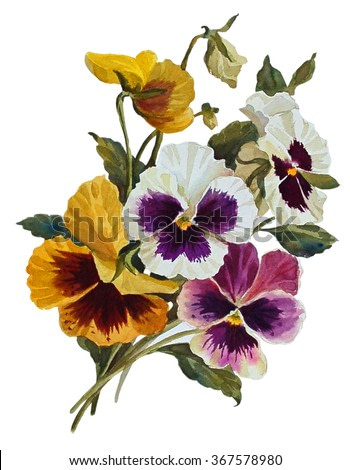 Pansies flowers, isolated on white background. Botanical illustration. Watercolor painting.