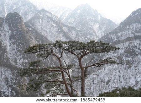 Pine tree with the background of snow covered Cheonbuldong valley at Seoraksan National Park near Sokcho-si, South Korea