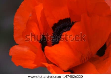 A deep red Poppy flower dazzles in this macro image, inspired by Georgia O'Keeffe.