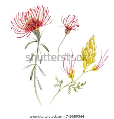 Watercolor tropical illustration  with exotic Australian flowers, red flowers  Eremophila dichroantha, set of isolated plants