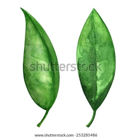 Watercolor green tea leaves set closeup isolated on white background