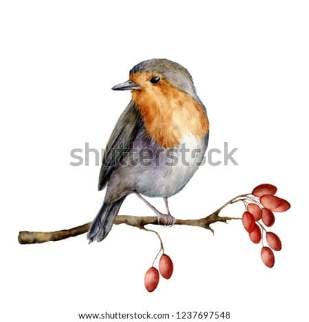 Watercolor robin sitting on tree branch with berries. Hand painted winter illustration with bird  and dog rose isolated on white background.  Holiday clip art for design, print. Christmas card