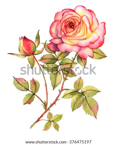 Botanical rose flower watercolor illustration