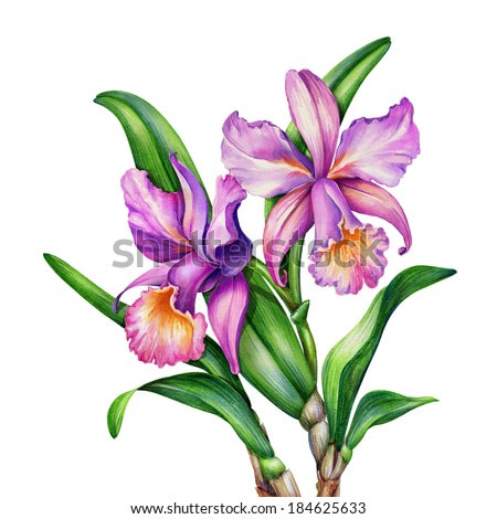 watercolor original painting of pink and purple Cattleya orchids and green leaves, botanic illustration