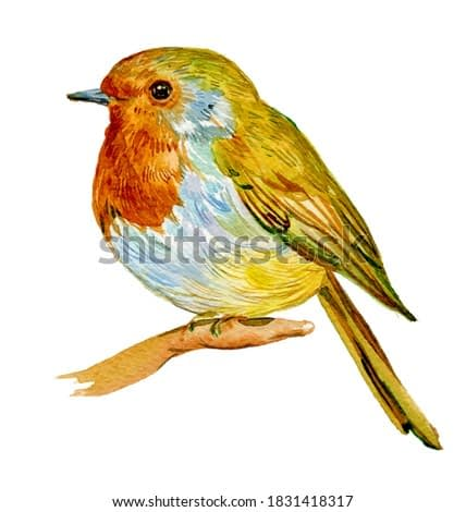 Robin bird watercolor illustration on isolated white background