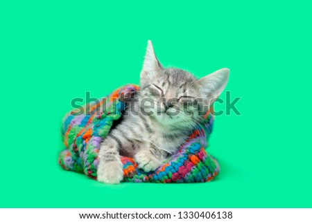 Tabby kitten Inside colorful green striped snow hat, green background.