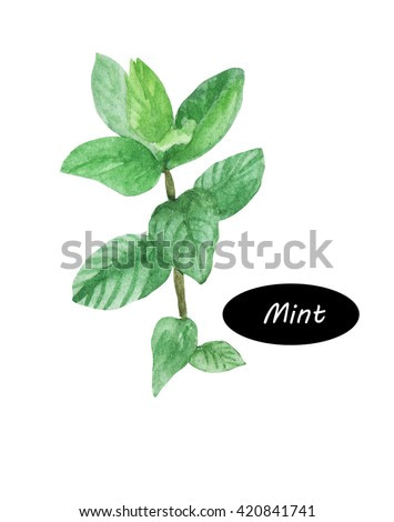 Watercolor mint plant peppermint isolated on white background. Kitchen herbs and spices banner. Mentha. Mints are aromatic, almost exclusively perennial, rarely annual, herbs. Healthy organic food