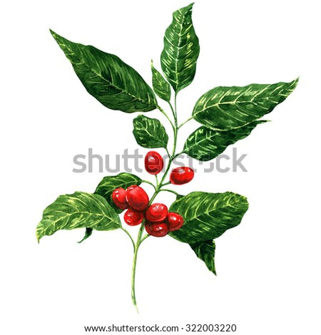 Red coffee beans on branch, watercolor painting, white background