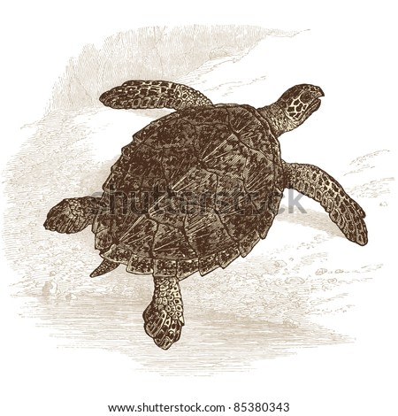 turtle - vintage engraved illustration -