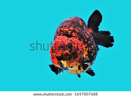 The colorful lionhead goldfish on isolated blue background. Carassius auratus is one of the most popular ornamental fish.