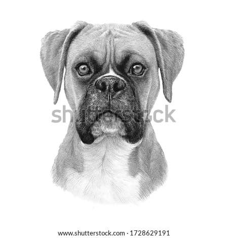 Head of French Bulldog. Hand drawn vintage style sketch of Boxer dog isolated on white background. Hand Painted Illustration of Pets. Animal art collection: Dogs. Good for print T-shirt, pillow