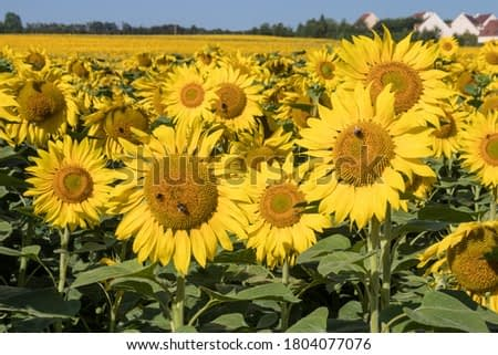 Large sunflowers field blooming towards the sun from France near Paris