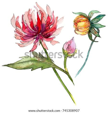 Wildflower chrysantemum flower in a watercolor style isolated. Full name of the plant: chrysantemum. Aquarelle wild flower for background, texture, wrapper pattern, frame or border.