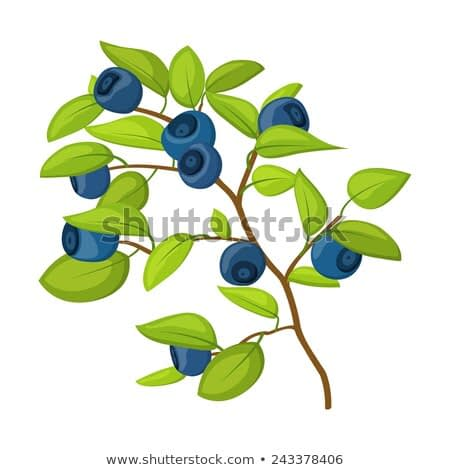 Blueberry branch isolated on white background in vector