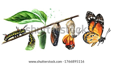 Butterfly metamorphosis development stages, caterpillar larva, pupa, adult insect set. Hand drawn watercolor illustration, isolated on white background