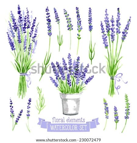 Vector set of provence herbs: lavender. Floral watercolor illustration