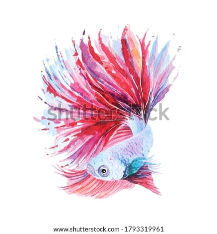 Red betta fish illustration with a beautiful tail, hand drawn, painted with watercolor.Isolated on white background.Fighting Fish swimming.Betta fish watercolor.
