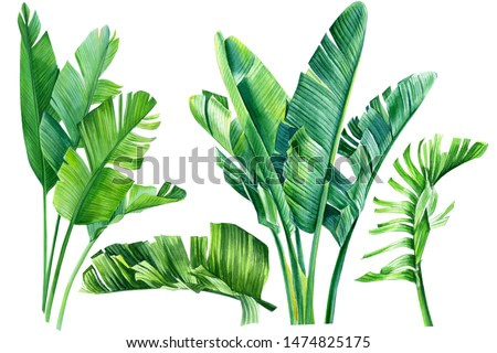 jungle design, set of strelitzia green  leaves on an isolated white background, watercolor tropical plants, botanical illustration, africa