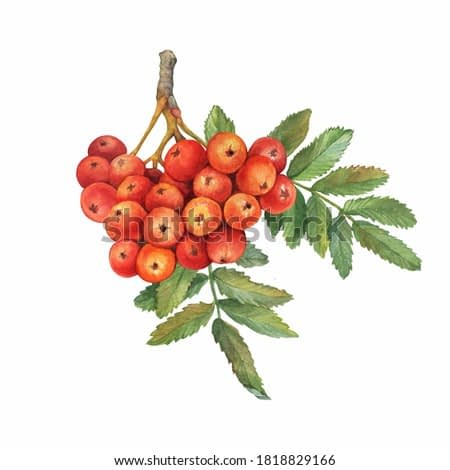 Red ripe rowan berries branch with green leaves ( known as the Sorbus aucuparia, mountain-ash, quick beam). Watercolor hand drawn painting illustration isolated on white background.
