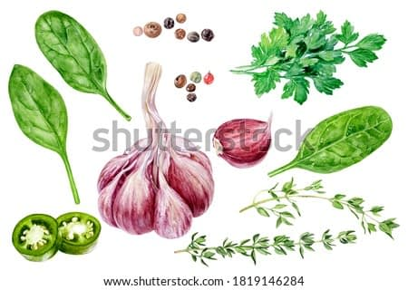 Garlic thyme parsley spinach jalapeno peppercorns set watercolor painting isolated on white background