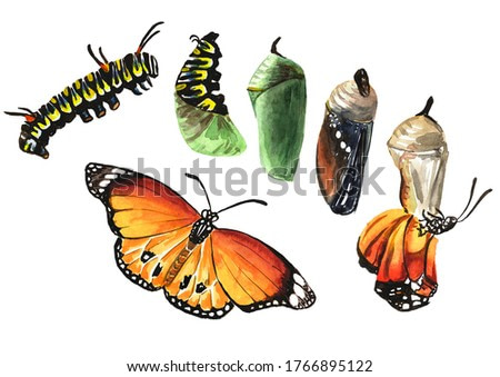 Butterfly metamorphosis development stages, caterpillar larva, pupa, adult insect. Hand drawn watercolor illustration isolated on white background