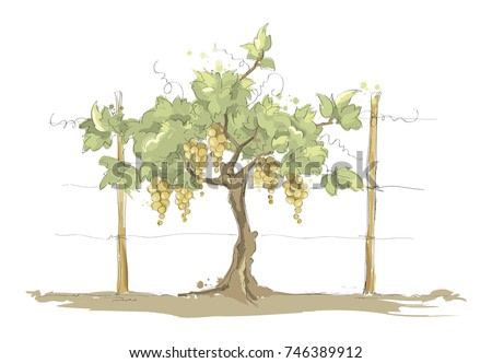 Vineyard. Grape on the trellis, color vector illustration
