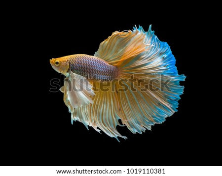 Type of Halfmoon Betta fish.  Capture of moving moment beautiful of siamese betta fish in Thailand on Black background.