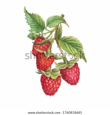 Closeup of a branch of red raspberry fruits (known as Rubus idaeus) with green leaves. Watercolor hand drawn painting illustration isolated on white background.