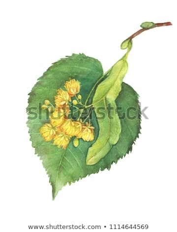 Yellow flowers large-leaf Linden (Tilia, lime trees, basswood) -medicinal plant. Watercolor hand drawn painting illustration isolated on a white background.