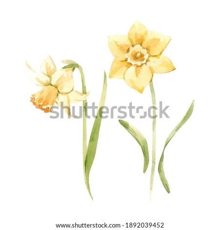 Beautiful image with watercolor gentle blooming narcissus flowers. Stock illustration.