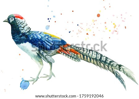 A bird pheasant on an isolated white background, botanical watercolor, hand drawing