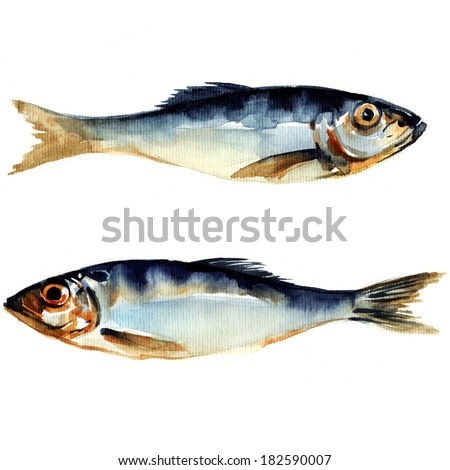 herring fish. watercolor painting on white background