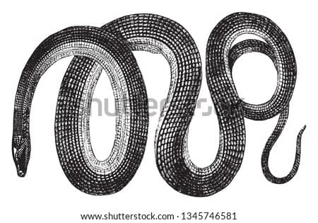 Glass snakes are a genus Ophisaurus of reptiles that resemble snakes, vintage line drawing or engraving illustration.