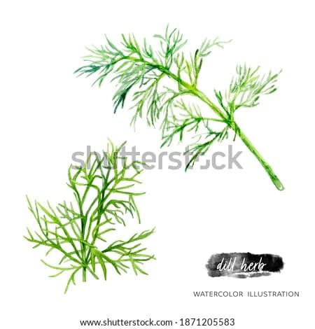 Dill watercolor illustration isolated on white background