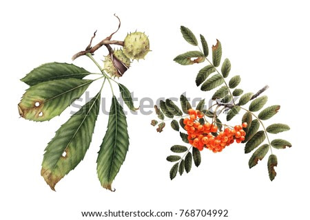 Chestnut and mountain ash, autumn plants, watercolor