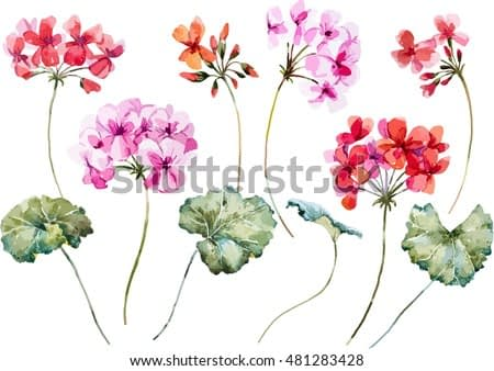 watercolor vector  flower geranium, pink and red flower, object isolated, spring
