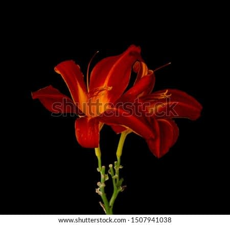 Daylily low key macro of a yellow red glowing blossom pair,black background,detailed texture, fine art still life vintage painting style
