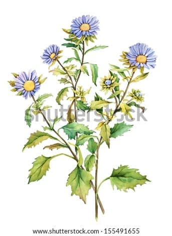 Watercolor illustration with chrysanthemum flower