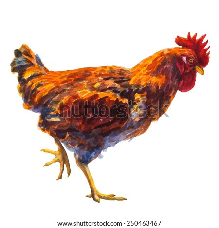 Rooster watercolor illustration isolated on a white background