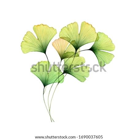 Watercolor ginkgo branch. Corner design element. Transparent green leaves isolated on white. Hand painted artwork with Maidenhair tree. Realistic and botanical illustration