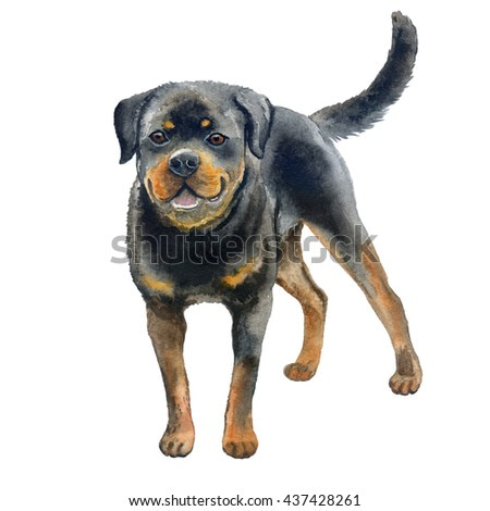 Watercolor closeup portrait of large Rottweiler breed dog isolated on white background. Large shorthair German working guardian dog. Hand drawn sweet home pet. Greeting birthday card design. Clip art