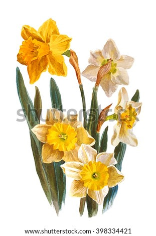 Daffodils flowers, isolated on white background. Botanical illustration. Watercolor painting.