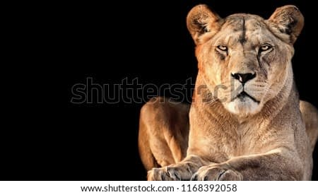 Lioness lurking on his victim on a black background. Poster from animal world. One female lion on the black background.
