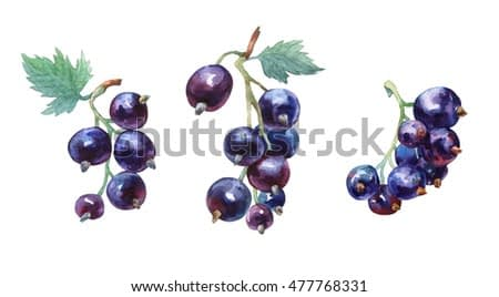 Black currant. Hand drawn watercolor painting on white background.
