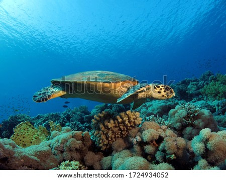 Hawksbill turtle Eretmochelys imbricata gliding over a beautiful coral reef