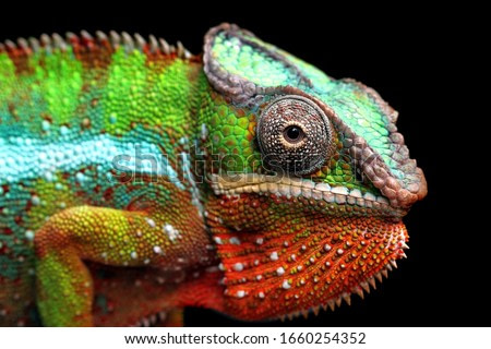 Beautiful of chameleon panther, chameleon panther on branch, chameleon panther closeup, Chameleon panther on branch with black backround,