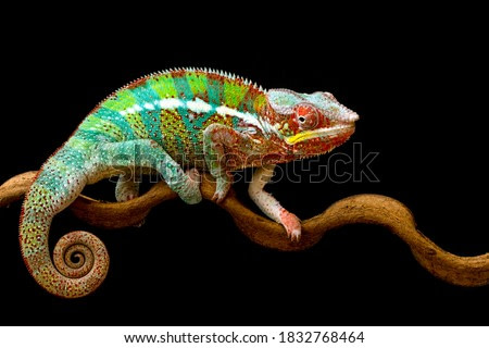 Beautiful color of chameleon panther, chameleon panther on branch, with black background