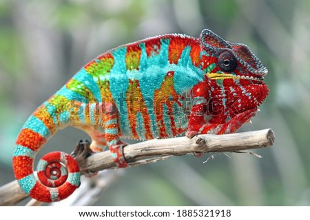 Beautiful of chameleon panther, chameleon panther on branch, chameleon panther climbing on branch, Chameleon panther closeup
