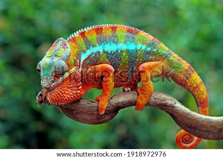 Beautiful of chameleon panther, chameleon panther on branch, chameleon panther climbing on branch